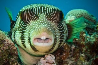 Close Up Of Star Puffer Fish In Red Sea Ocean Creatures Sea Fish Deep Sea Fishing