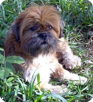 Rockport Tx Shih Tzu Brussels Griffon Mix Meet Luca A Dog For Adoption Pets Animal Rescue Stories Shelter Dogs