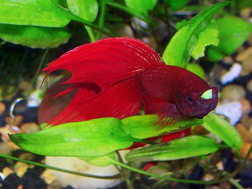How to prepare pea for a bloated betta betta fish care for Bloated betta fish