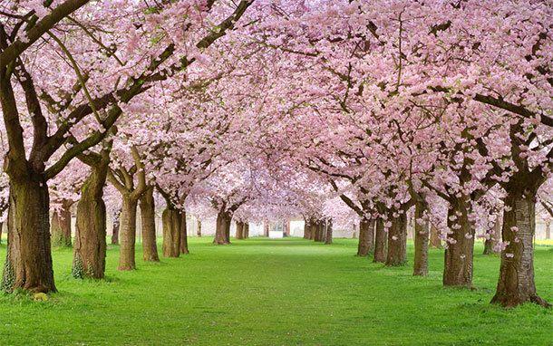 Cherry Blossom Festivals Greet Spring Blossom Trees Cherry Blossom Tree Cherry Tree