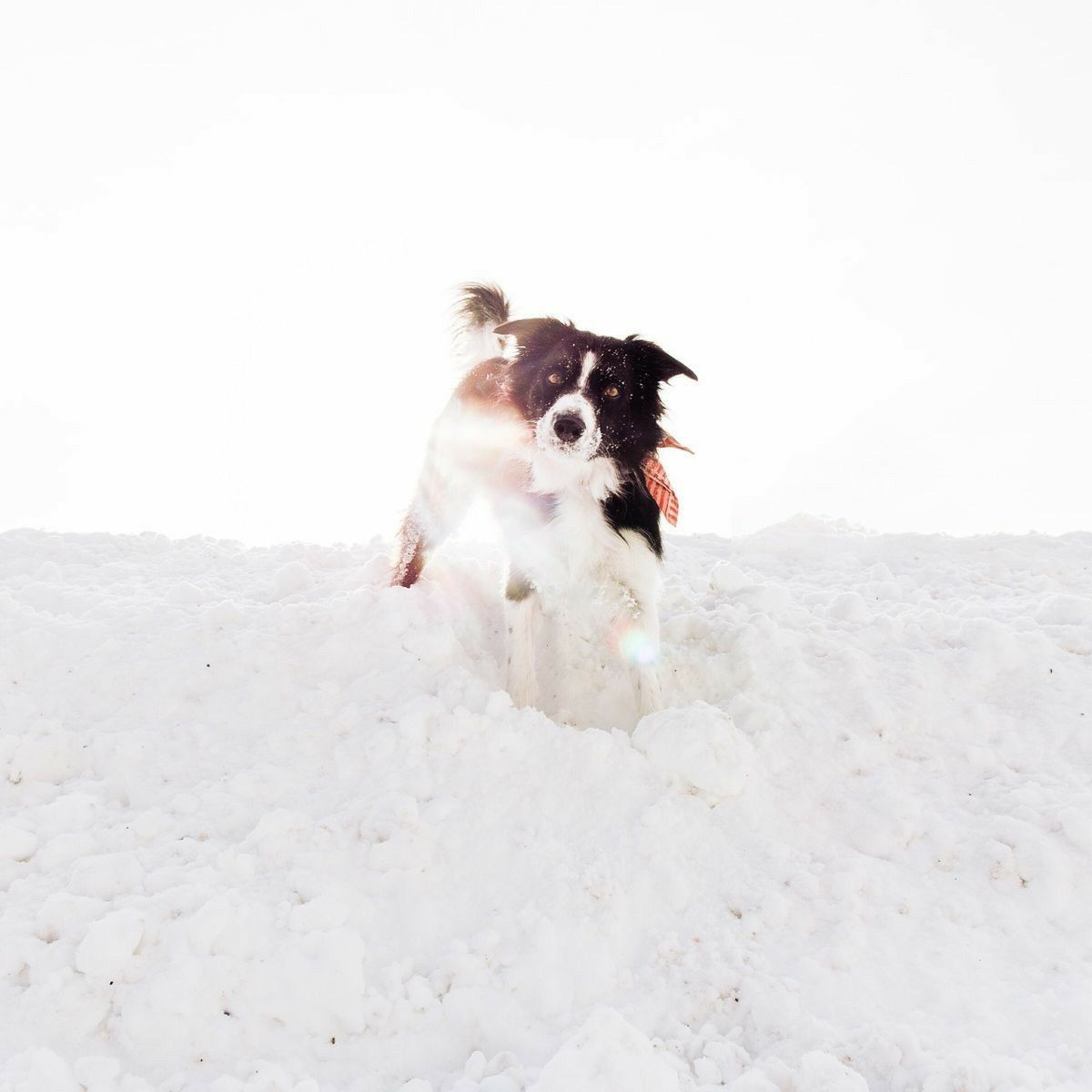 Find Momo Border Collie Just Momo Collie Dog Collie Dogs