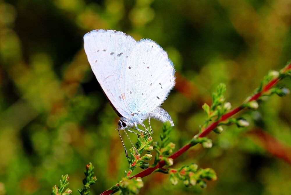 White Butterfly Spiritual Meaning Butterflies Just Cause I Love