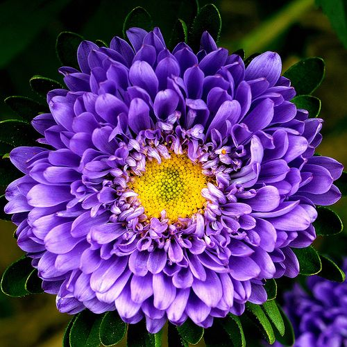 A Single Flower Of A Summer Aster Aster Flower Purple Flowers Flower Photos