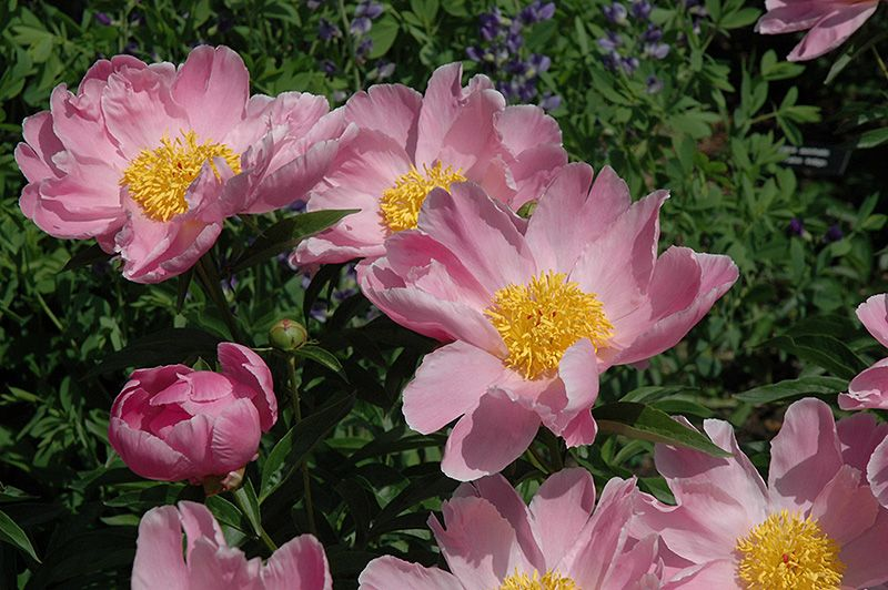Sea Shell Peony (Paeonia 'Sea Shell') at Chalet Nursery