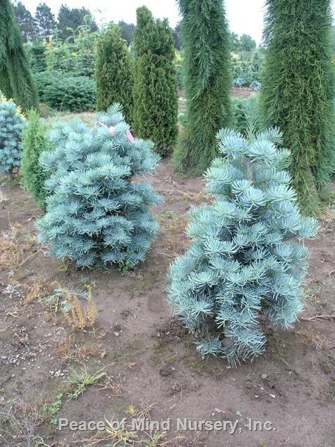 Abies Concolor Dwarf Blue Whole Nursery Supplies Plant Growers In Oregon