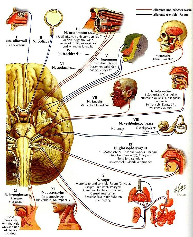 Hirnnerven | Anatomie | Pinterest