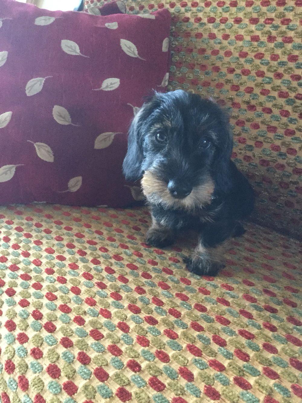 Wirehaired dachshund puppy love..