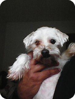 Atlanta Ga Maltese Meet Julian Lennon Tn A Dog For Adoption