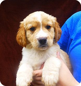 Golden Retriever Labrador Retriever Mix Puppy For Adoption In