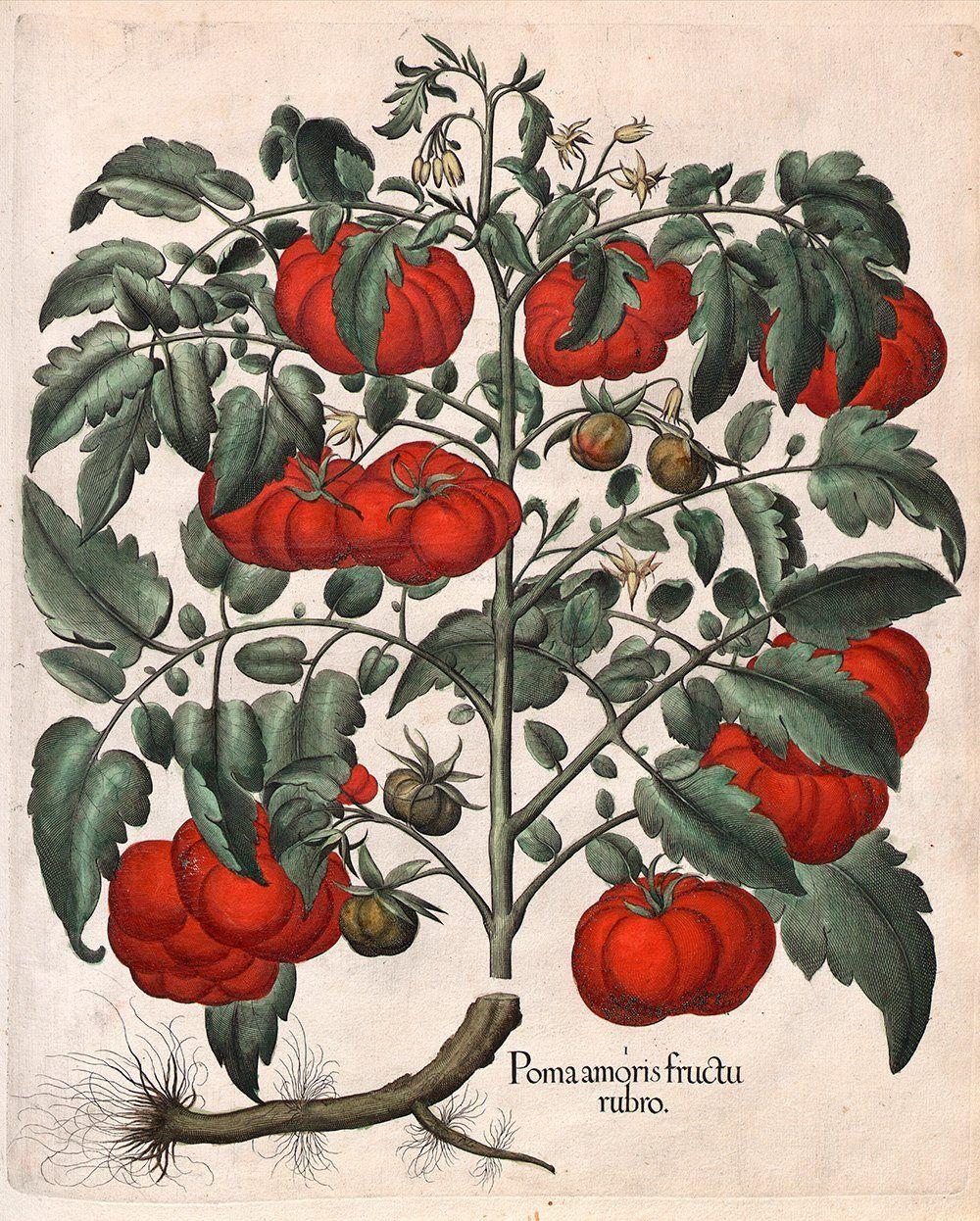 "Amazon.com - Basilius Besler : ""Tomatoes"" (Hortus Eystettensis, 1613) - Giclee Fine Art Print -"