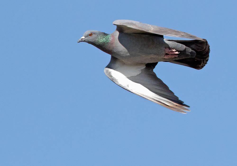 Rock Dove Columba Livia Videos Photos And Sound Recordings The Internet Bird