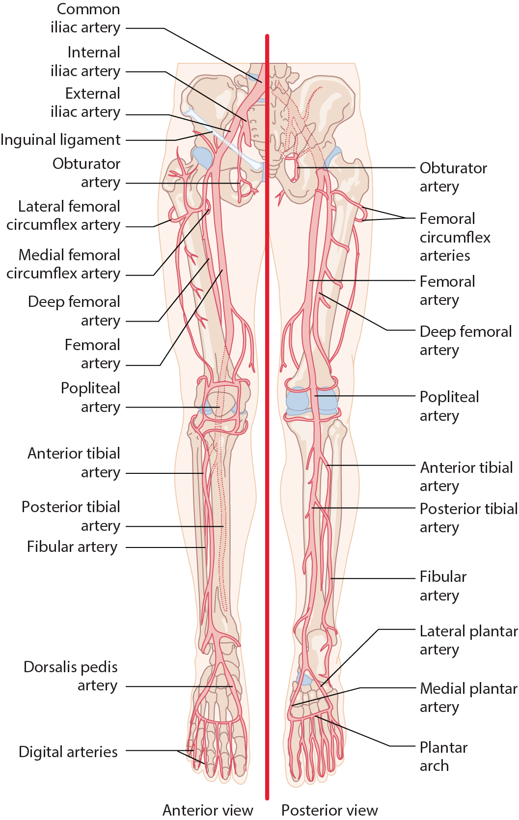 Arteries Of The Lower Extremity After Passing Posterior To The