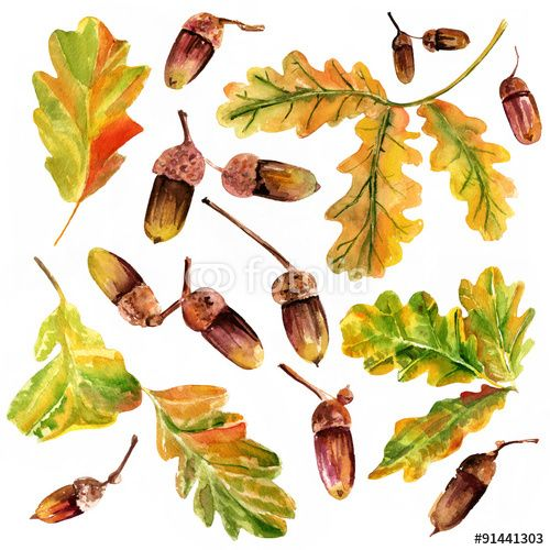 Set of watercolour oak leaves and acorns, autumn or wine themed ...