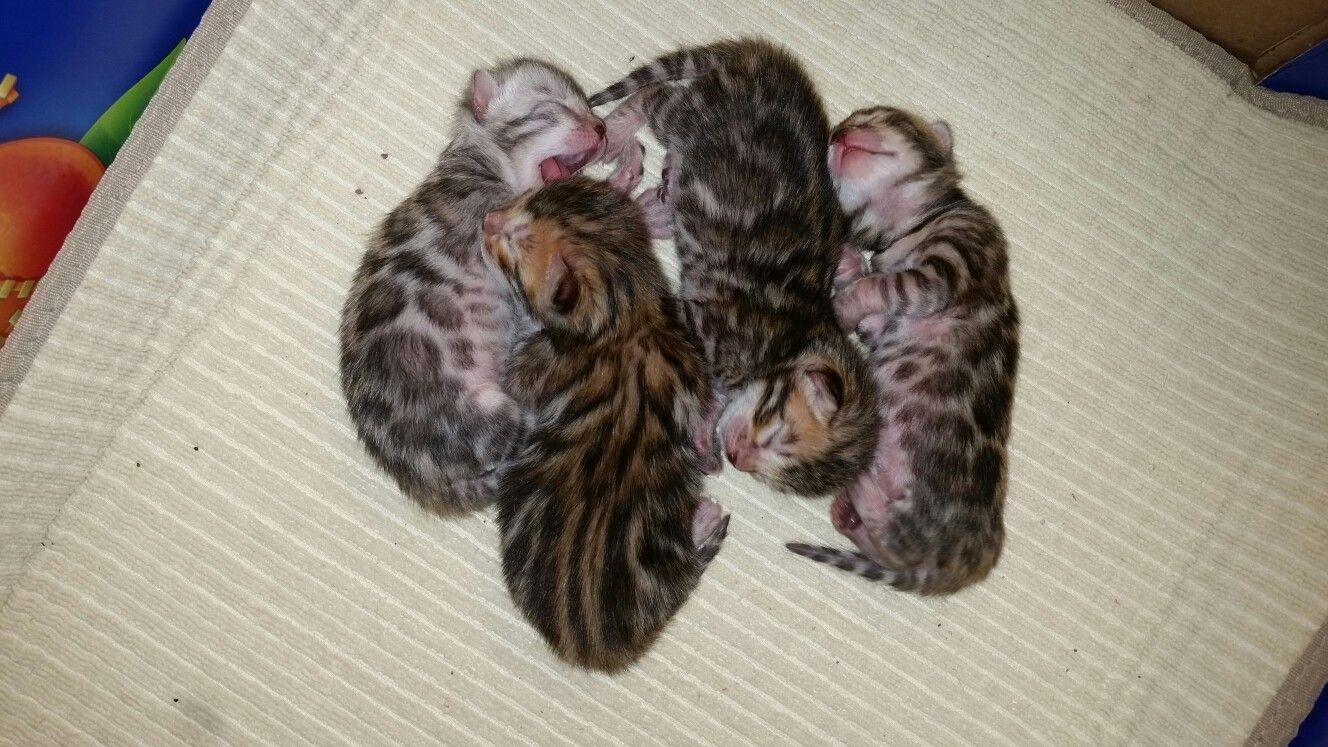 Lucy S Babies Born 7 4 17 Cat Breeder Bengal Cat Breeders Bengal Kitten