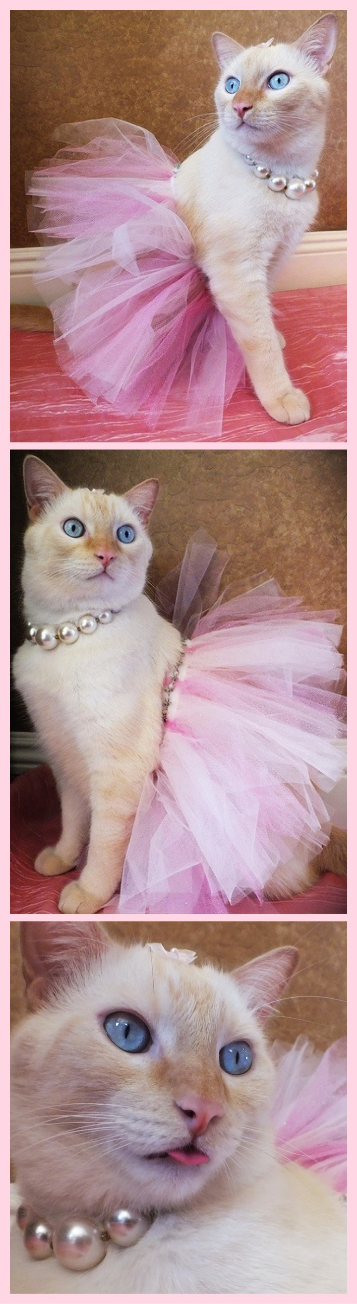 Dean The White And Orange Cat In A Pink Tutu Dress Outfit Costume Flame Point Siamese With Big Blue Eyes And Pearl Pet Fashion Princess Kitty Cat Dressed Up