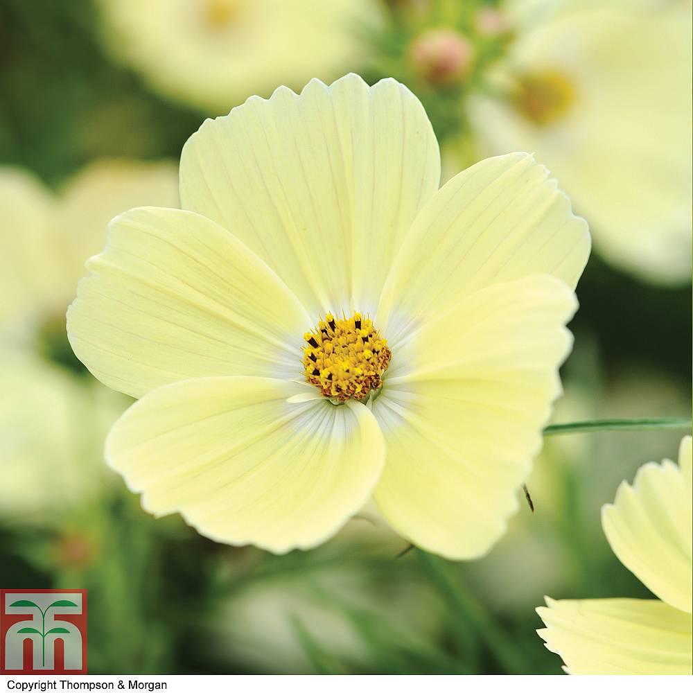 """Cosmos bipinnatus 'Lemonadeâ""""¢' seeds Thompson &"""