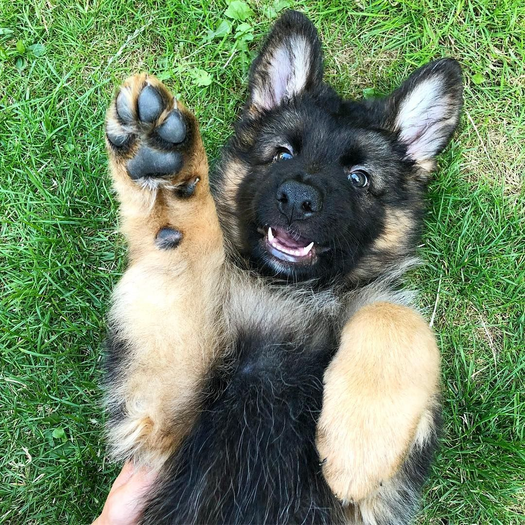 Max Wants You To Raise Your Hand If You Love German Shepherds