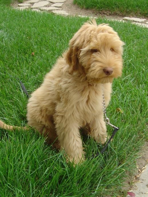 Golden Retriever Goldendoodle And Mini Goldendoodle Puppies For Sale In South Carolina Usa We Make It Easy Labradoodle Goldendoodle Puppy For Sale Stud Dog