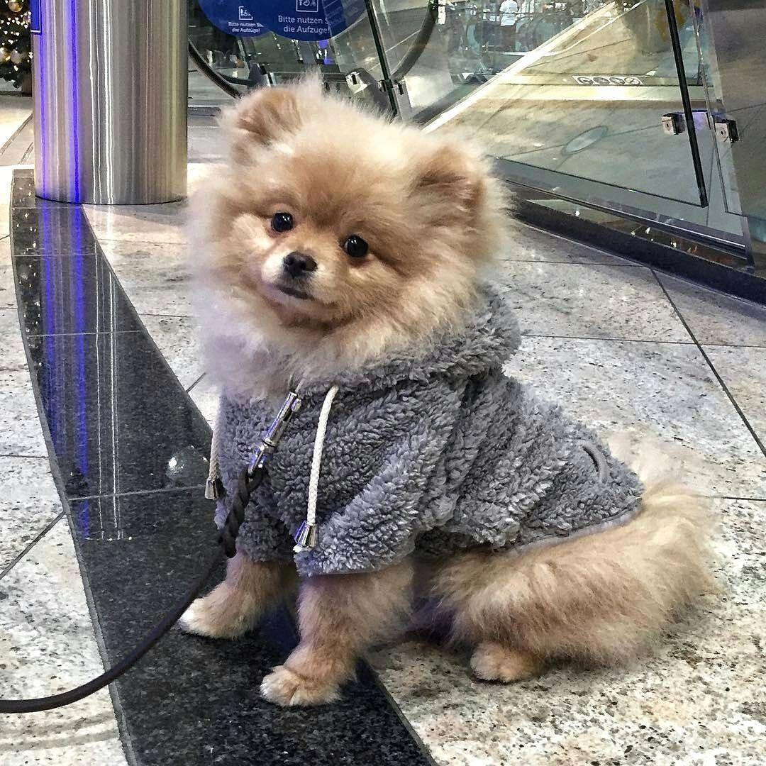 Pomeranian Bold And Inquisitive In 2020 Cute Pomeranian