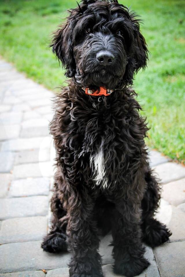 black labradoodle haircuts charlie the not so goldendoodle blackgoldendoodle
