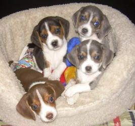Silver Chocolate Beagle Pups I Always Go To Their Website I