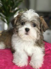 Shih Tzu Maltese Designer Puppies For Sale In Chicago Il