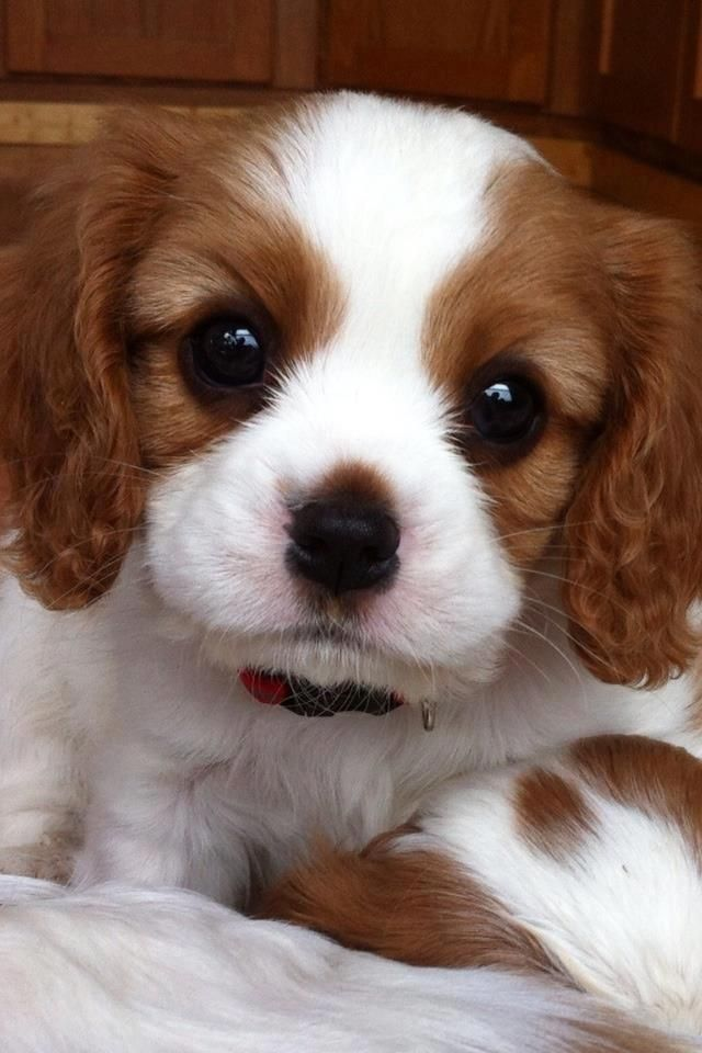 Caviler King Charles     Spaniel        i want one as my next baby.