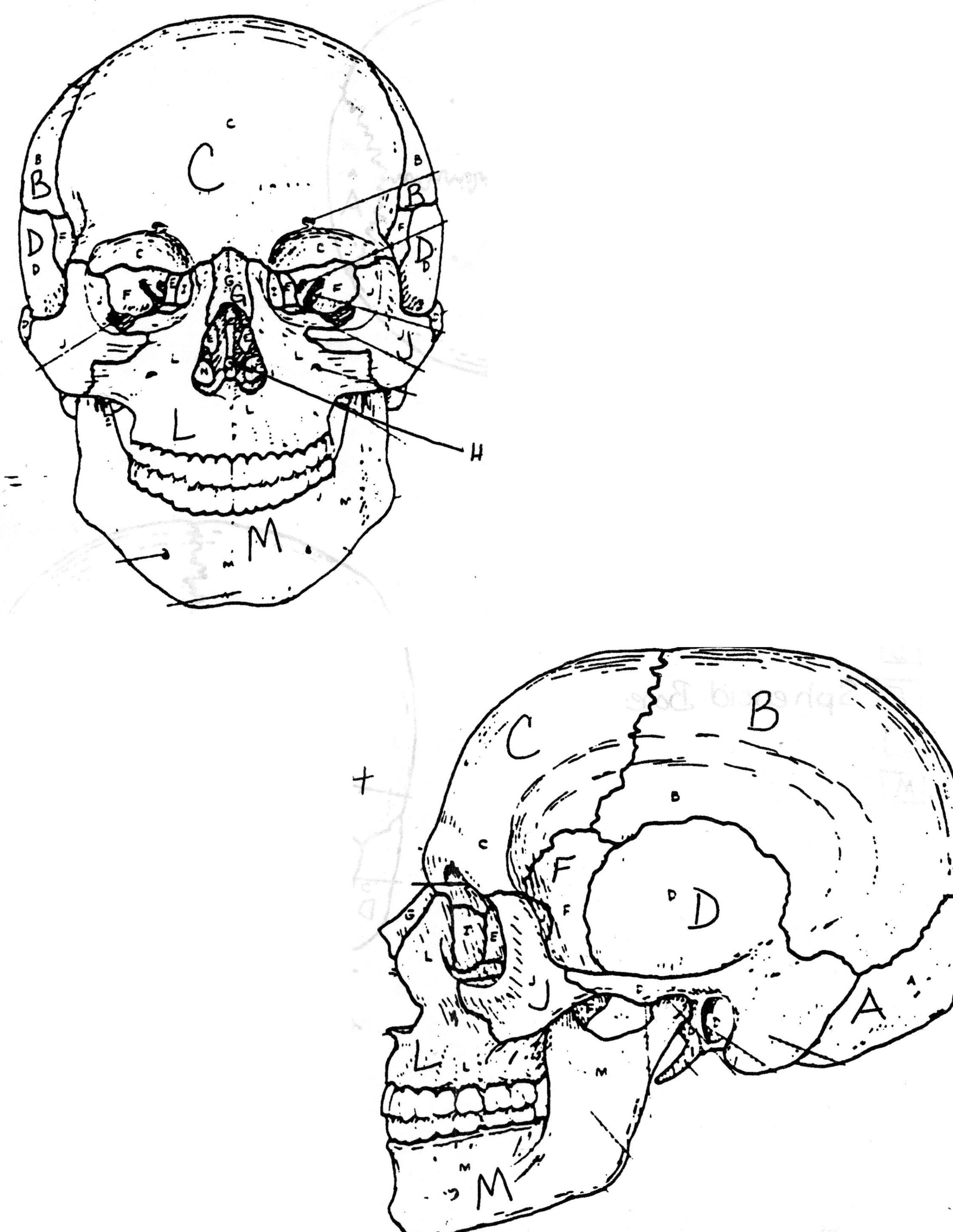 Anatomy Coloring Pages Skull Human Anatomy Coloring Pages Coloringsuite Albanysinsanity Com Skull Coloring Pages Coloring Books Anatomy Coloring Book