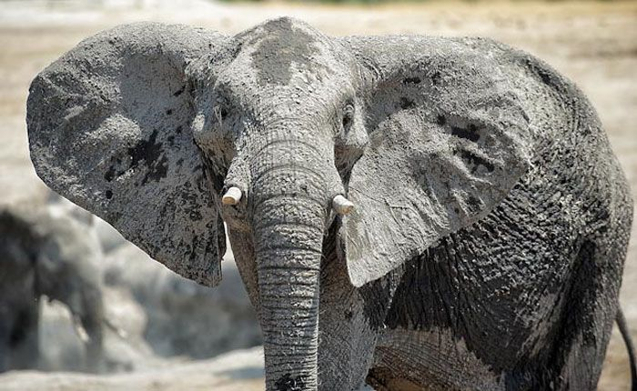 Another elephant poached in Northern Kruger.