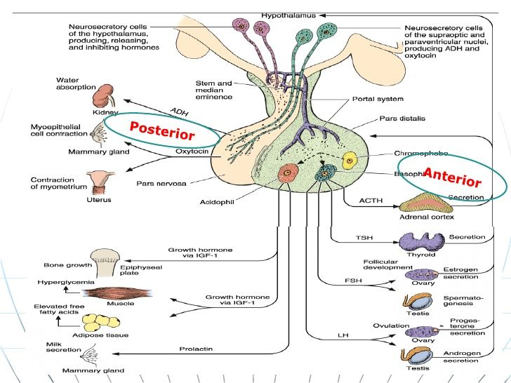 Image result for endocrine system hormones chart