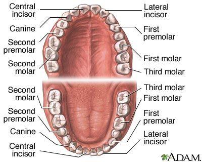 Lesson 4 Teeth Oral Cavity Anatomy Infobarrel Images Anatomy