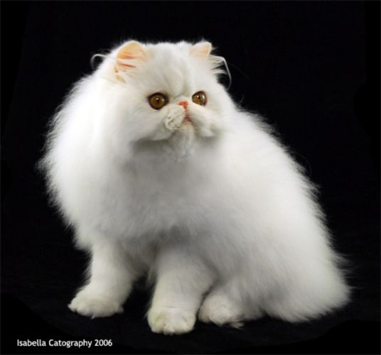 White Persian Cat 3 This Looks Exactly Like My Boy Even The Tusk Like Whiskers Are The Same Persian Cat Persian Cat White Cat Pics
