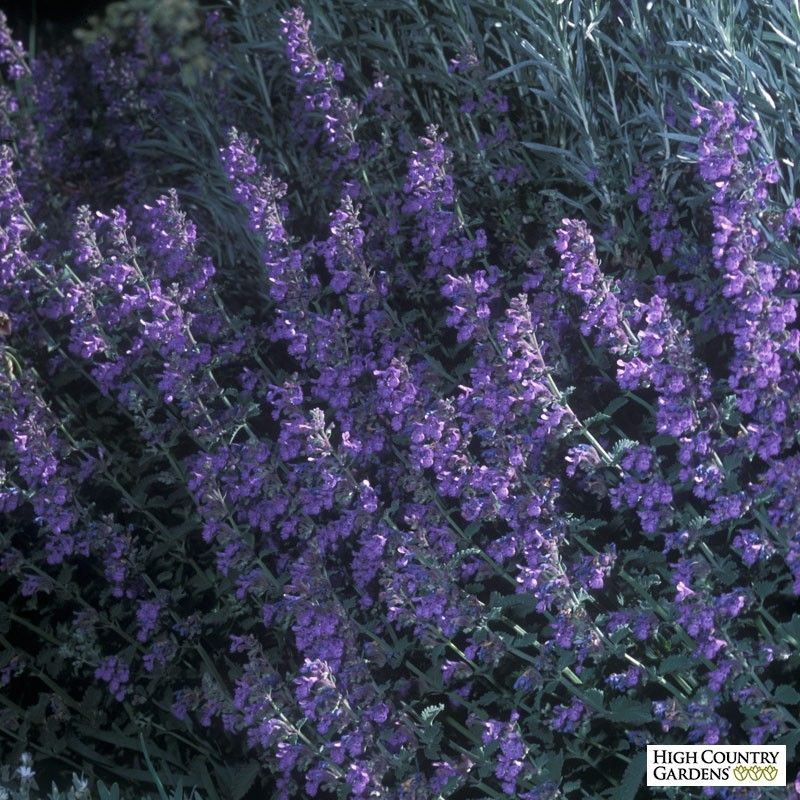 Nepeta Walker S Low Walker S Low Catmint Is A Robust Variety With Dark Lavender Blue Flowers In L High Country Gardens Perennial Plants Deer Resistant Plants