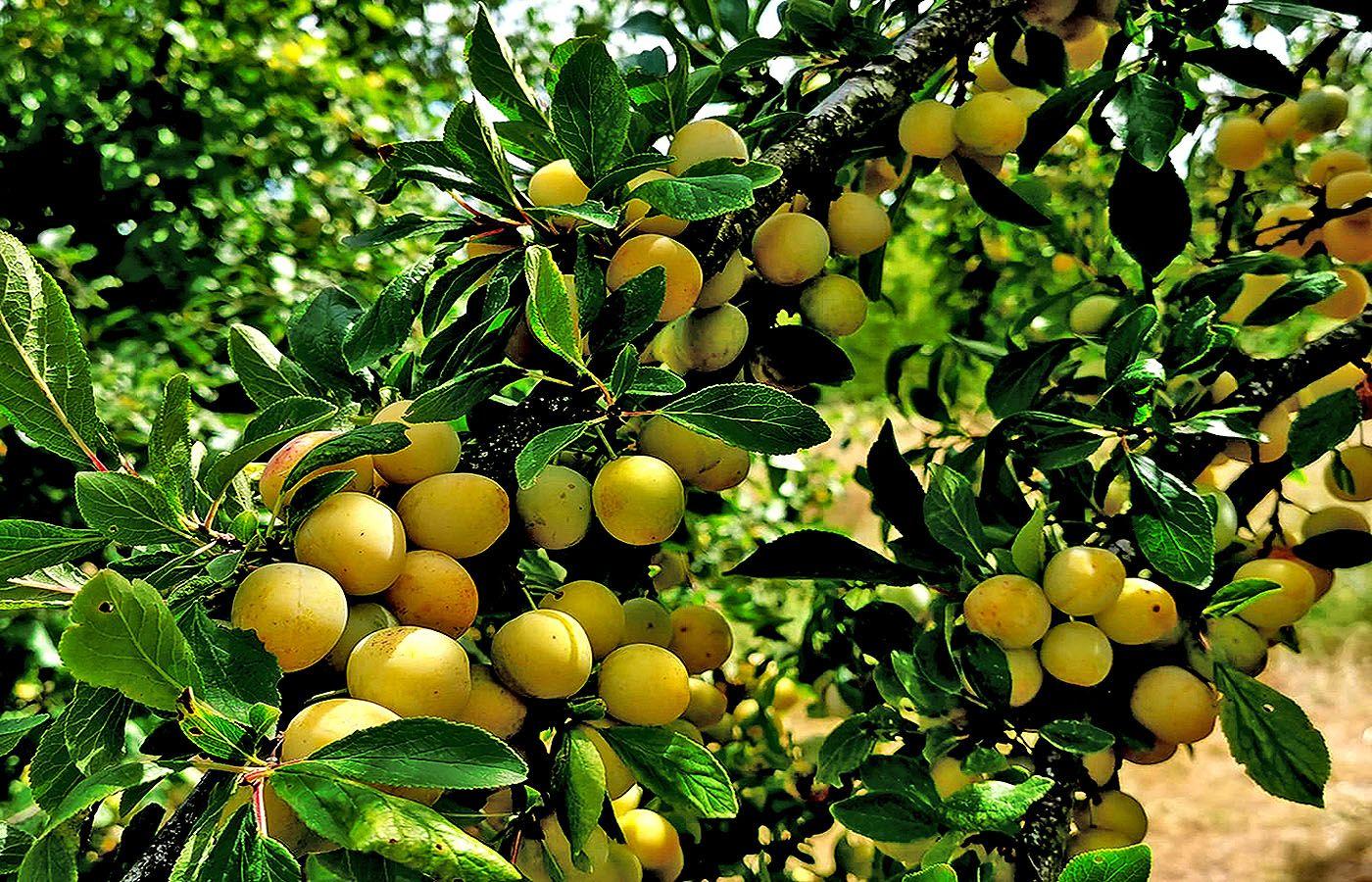 Die Baume Hangen Voll Sagten Die Mirabellen In Nachbar S Garten Egal Ob Wie Hier Mirabellen Oder Pflaumen Apfel Und Birnen O Mirabellen Obst Birne