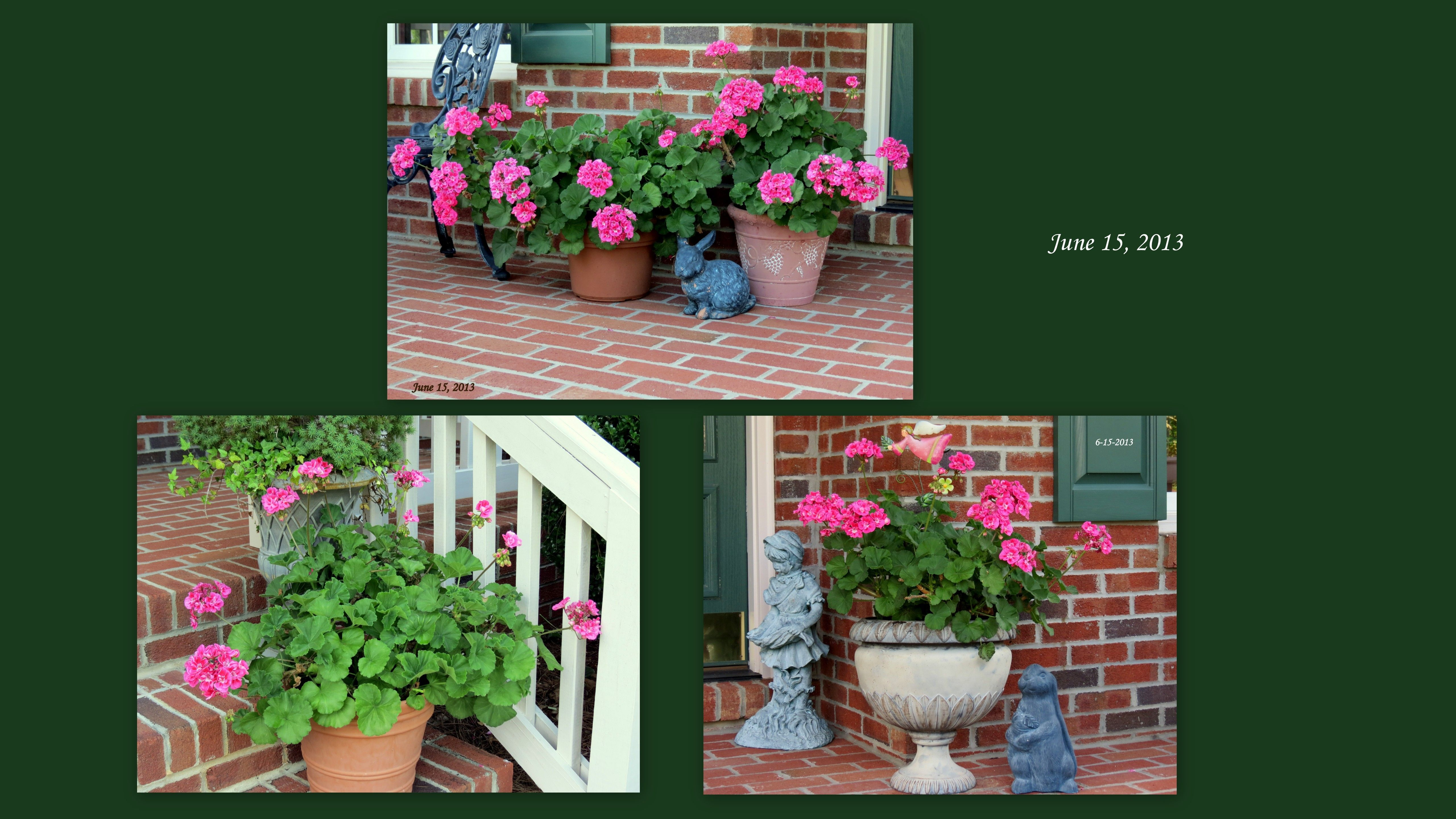 """All 6 of my plants """"Wintered"""" well, they are healthy and full of blooms!  This photo was taken on June 15, 2013"""