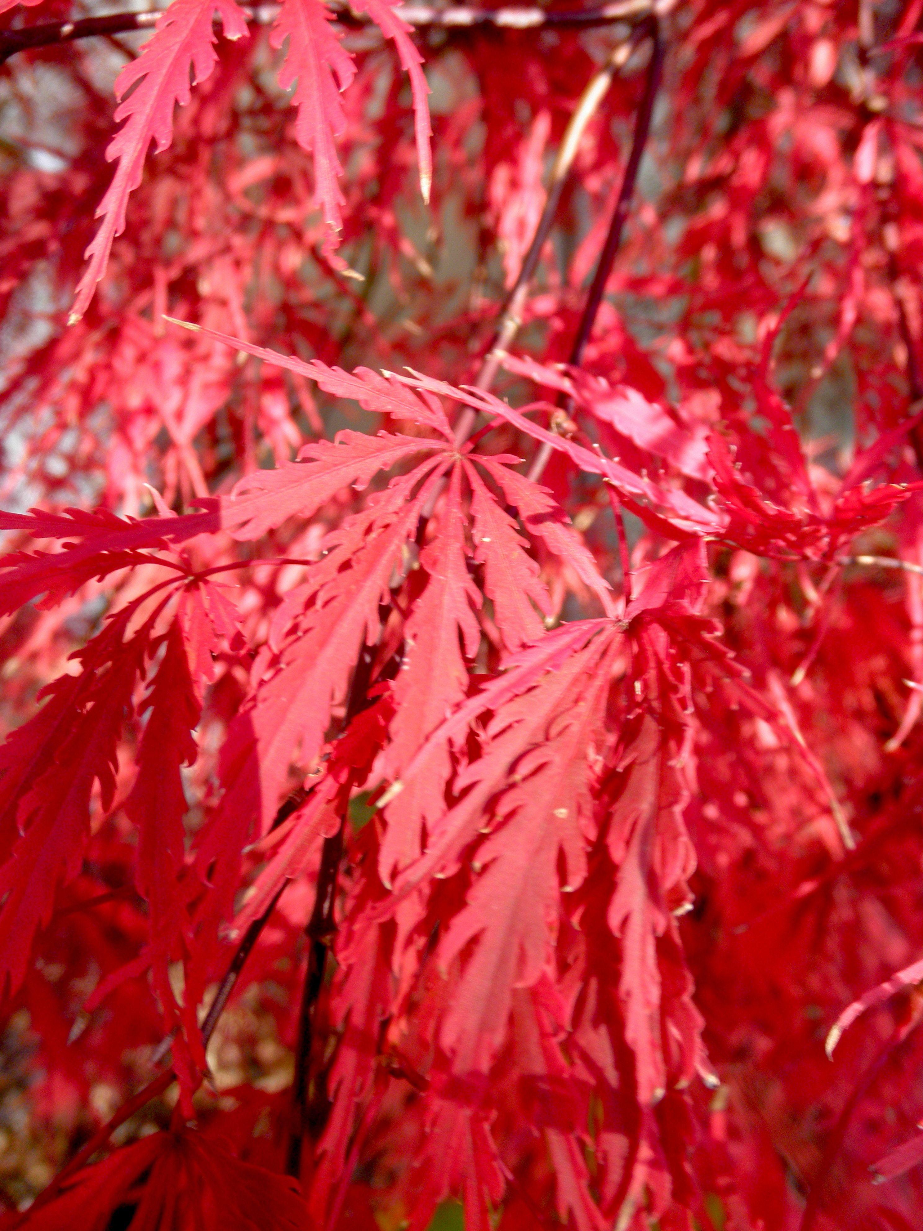 Acer Palmatum Dissectum Tamukeyama Tamukeyama Laceleaf Japanese