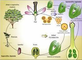 Reproduccion asexual en plantas ejemplos de adverbios
