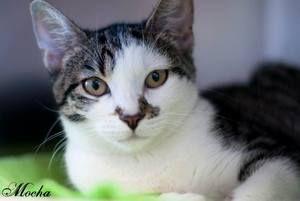 Adopt Mocha On Brown Cat Short Hair Brown Cats