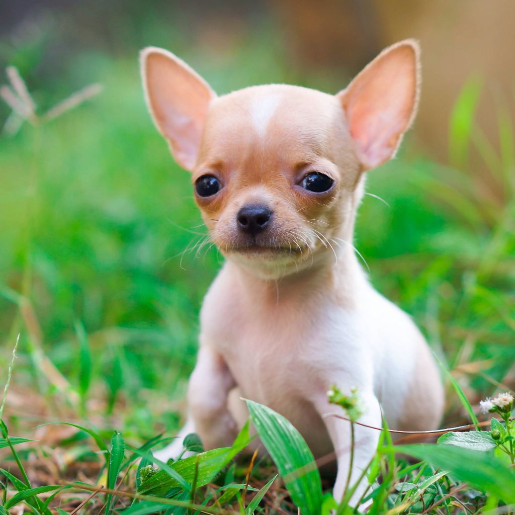 Medium Crop Of Hydrocephalus In Dogs