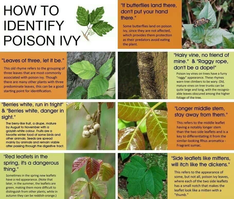 10 Must Have Camping Safety Tips For Kids Identify Poison Ivy Poison Ivy Plants Poisonous Plants