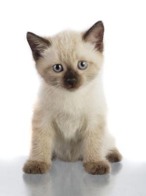 Siamese Kitten Adoption Siamese Kittens Cute Cats