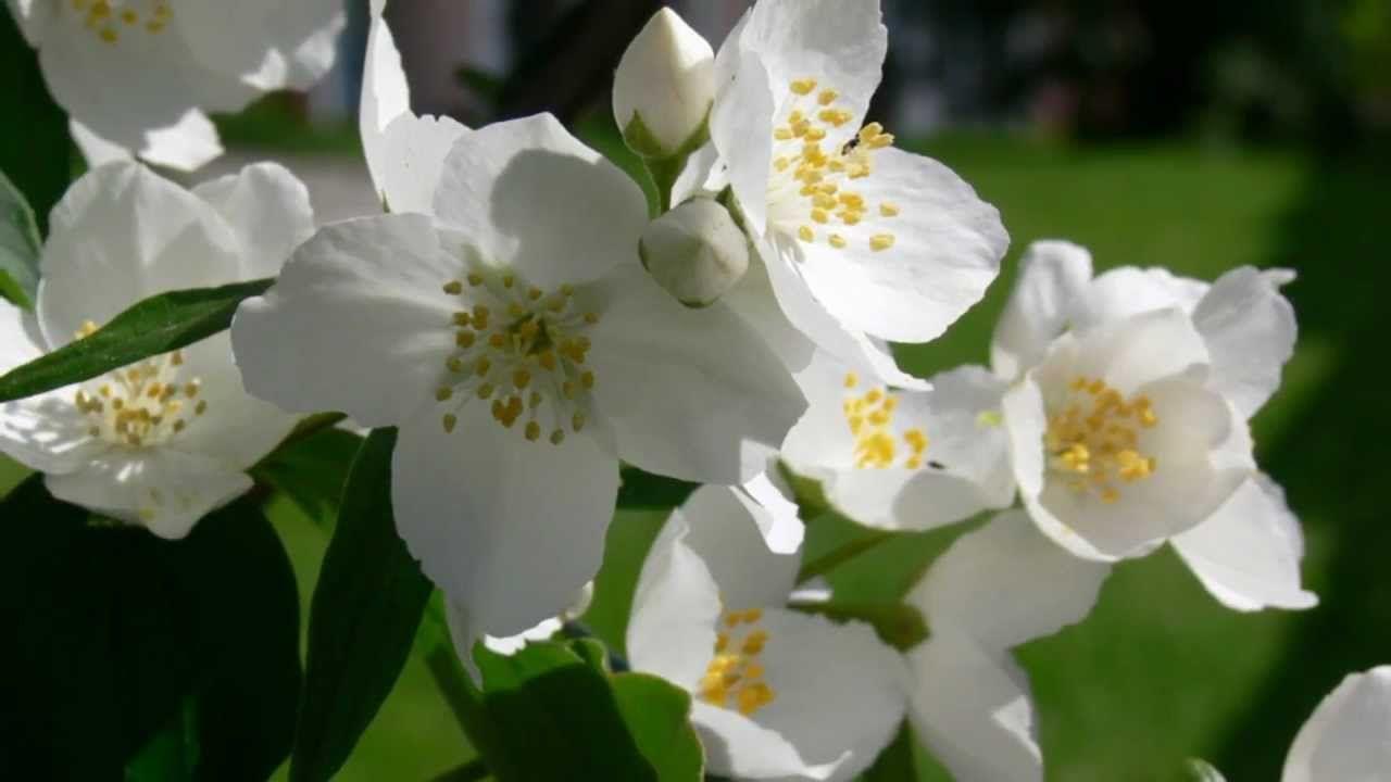 Jasmine Flower My Favorite Songs Pinterest Songs