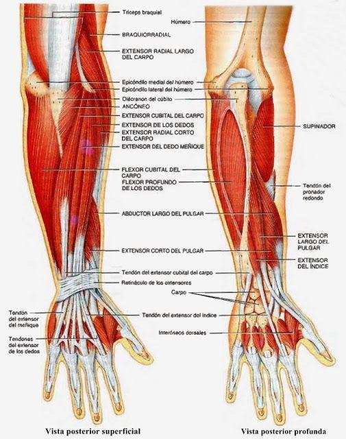 Músculos del miembro superior | Morfo final | Pinterest | Miembro ...