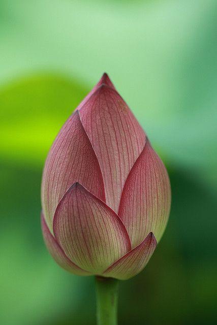 Slim lotus bud flowers breathtaking pinterest lotus bud slim lotus bud flowers breathtaking pinterest lotus bud lotus and flowers mightylinksfo