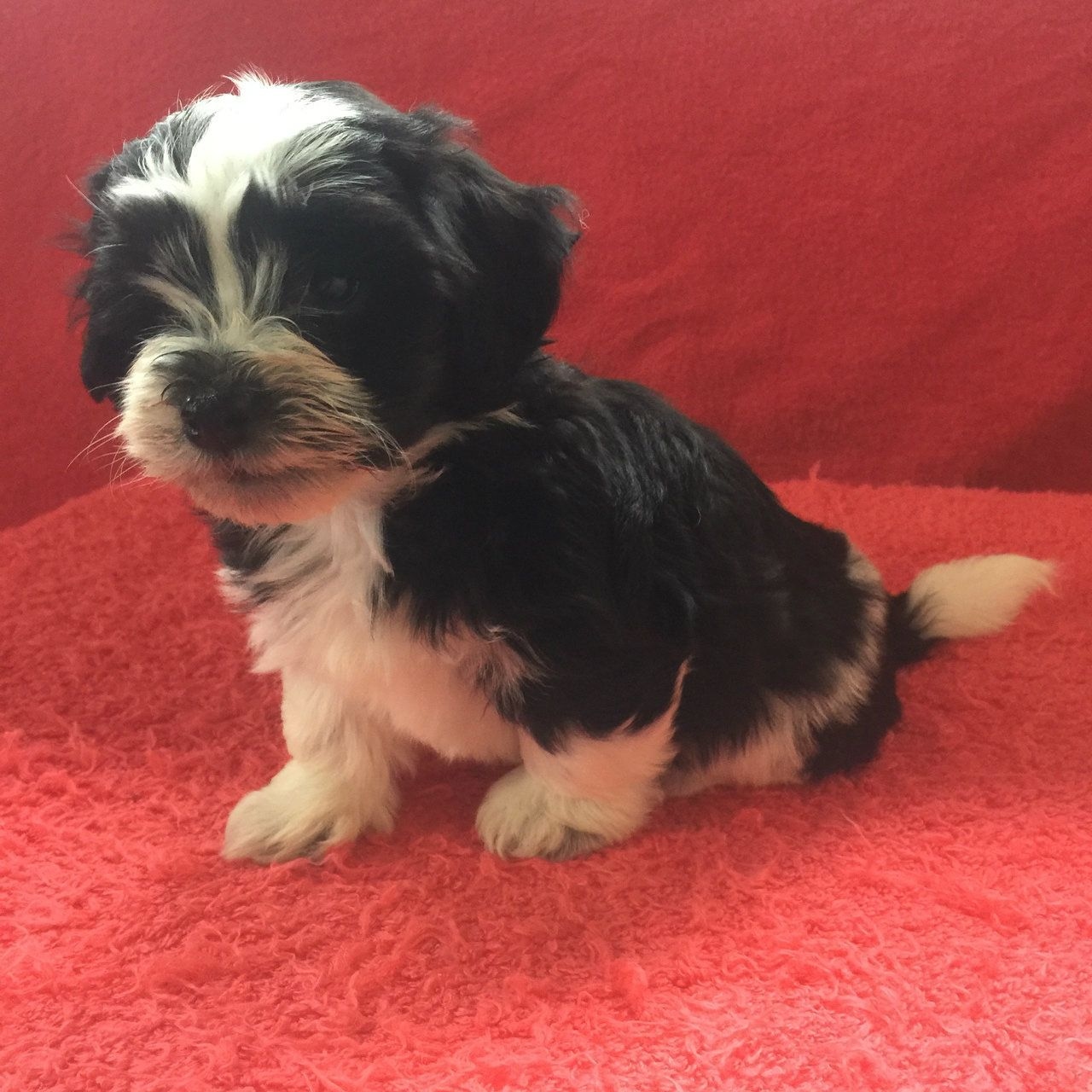 Kayla Havanese Puppy For Sale Kate S Puppies In Ohio Havanese Puppies Havanese Puppies For Sale Puppies