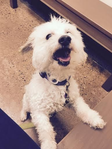 Adopt Stevie On Petfinder Miniature Poodle Poodles For Adoption Dog Love