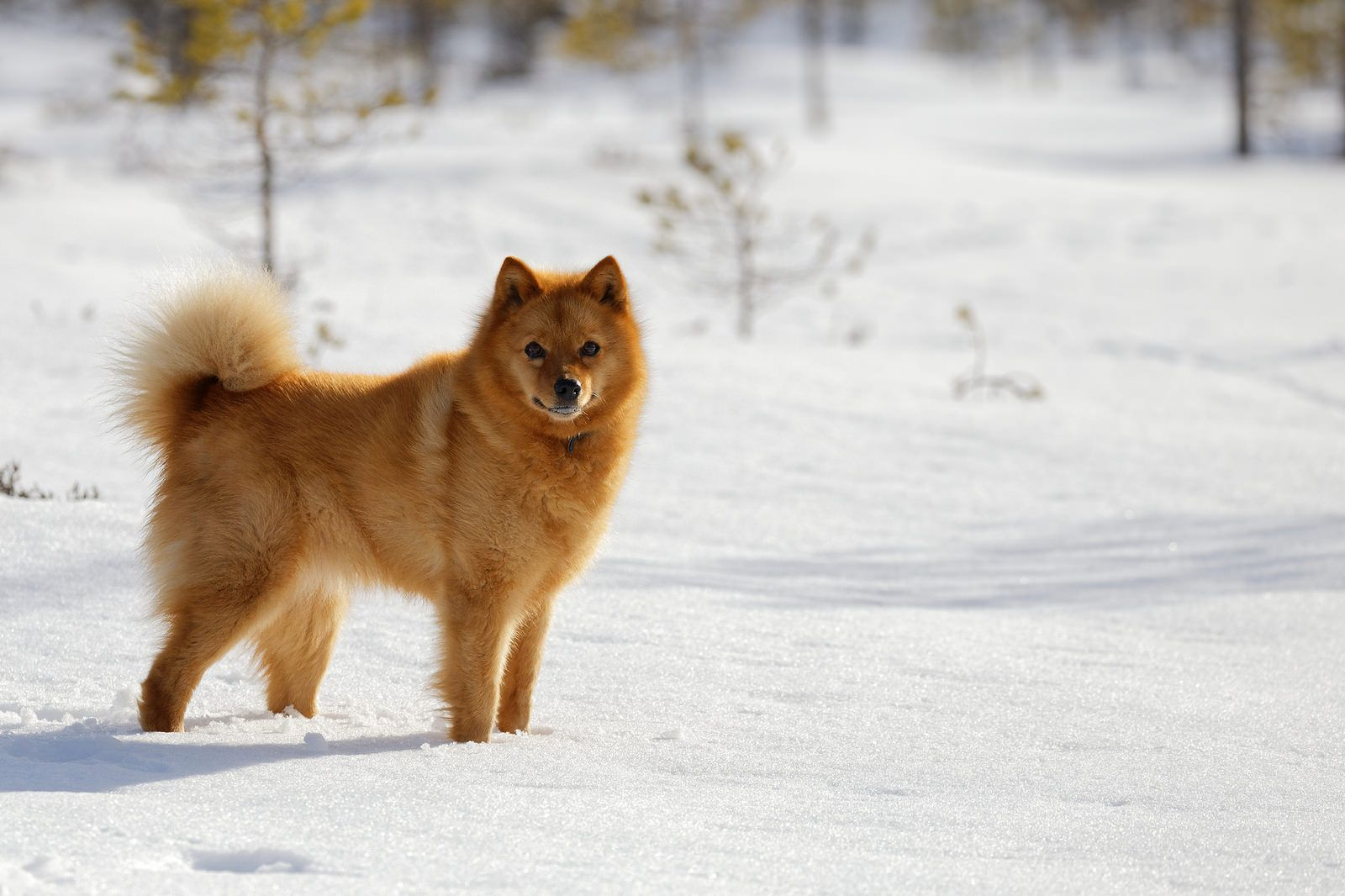 Suomenpystykorva Finnish Spitz Finnish Spitz Dog Breeds Dogs And Puppies