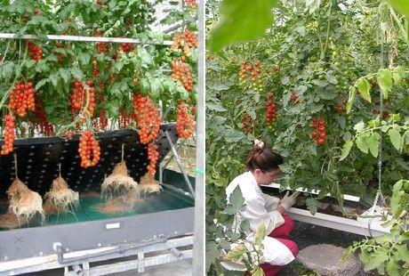 Tomates Hidroponicos Buscar Con Google Hidropon 237 A