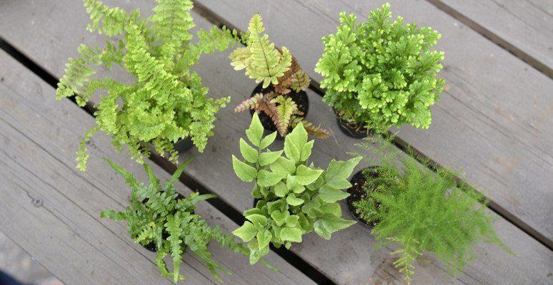 Mini Ferns Houseplants Mcdonald Garden Center