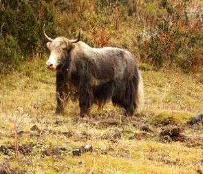 dzo yak x domestic cow  rare animals animals work with